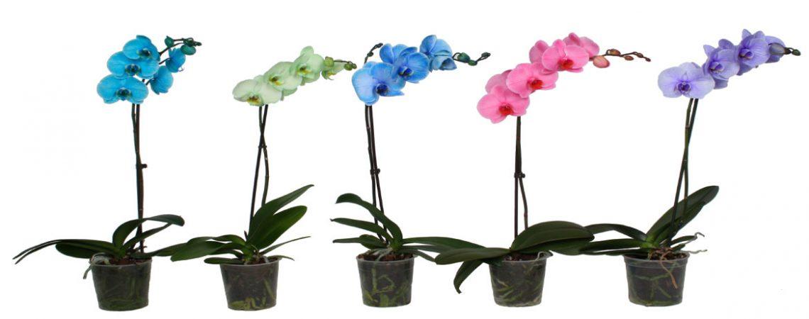 Интересни факти за орхидеите. Орхидеята е подправка?