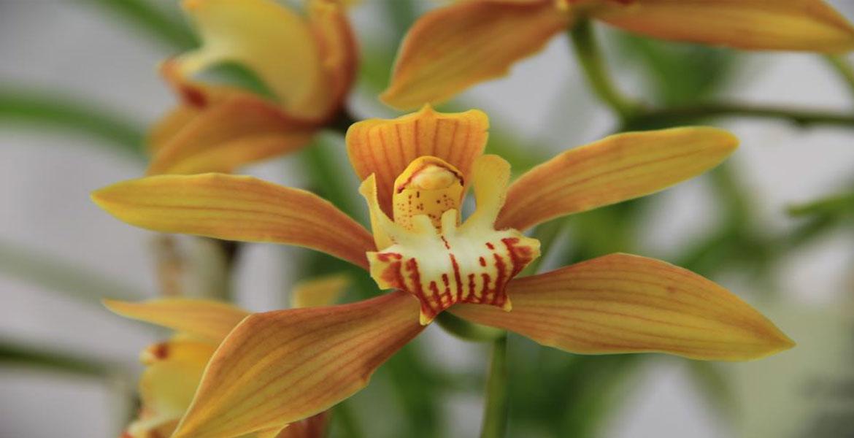 Как да засадим орхидея в домашни условия