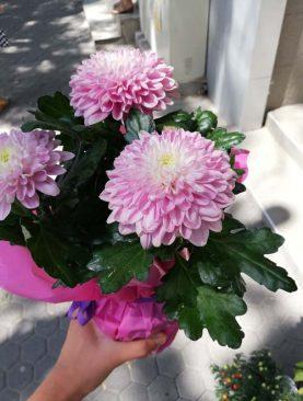 Розови хризантеми в саксия