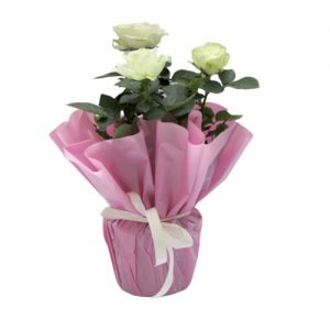Бяла Роза в Саксия