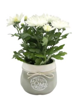 Бяла хризантема в кашпа