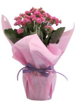 Розово каланхое
