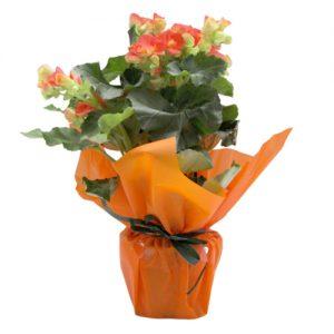 Бегония - оранжева
