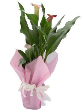 Кала - розова