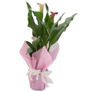Розова Кала в Саксия