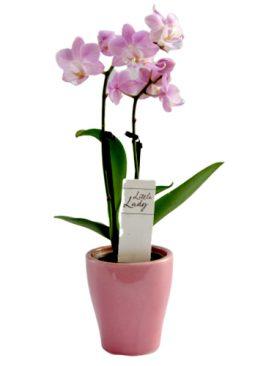 Мини орхидея - розово лилава