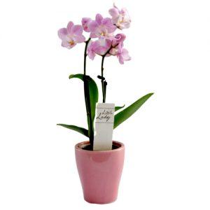 Мини Орхидея в Кашпа