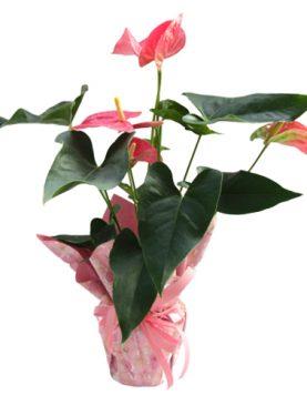 Антуриум - розов