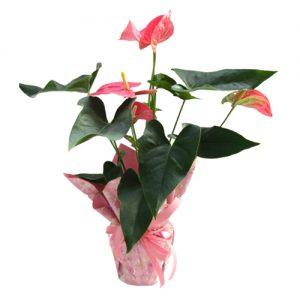 Розов Антуриум в Саксия
