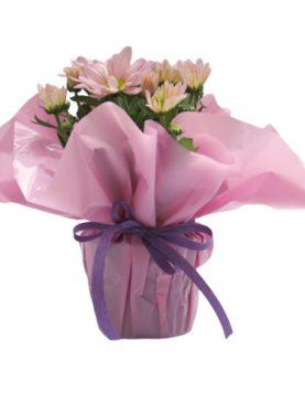 Мини хризантема в различни цветове