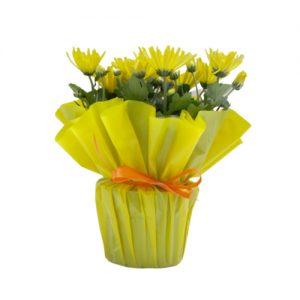 Жълти хризантеми в саксия
