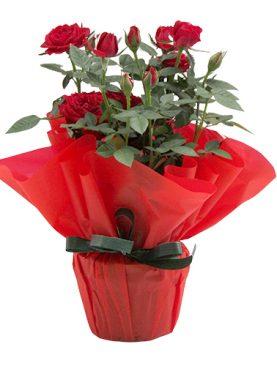 Рози в саксия