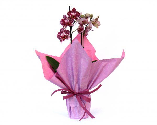 Червена Орхидея в Саксия