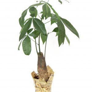 Пахира - Дърво на съдбата от BestFlowers.bg