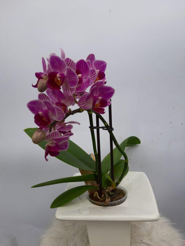 Мини Орхидея в Стъкленица