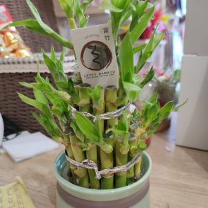 Бамбук в саксия